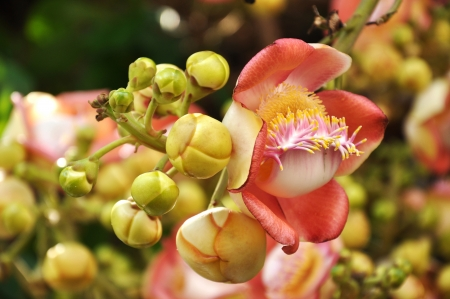 pollinators: Cannonball Tree flowers do not have nectar, so these flowers are mainly visited by bees in search of pollen; outside the native range of habitat, carpenter bees are considered to be the principal pollinators.