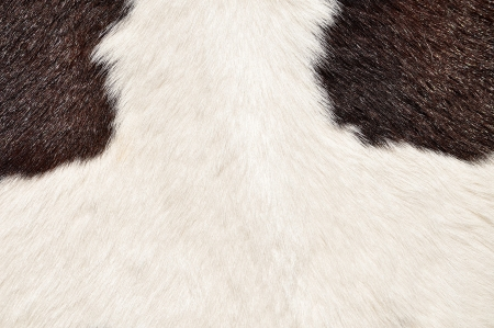 Brown and white hairy texture of cow photo