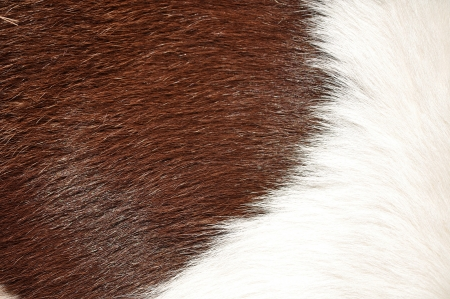 cowhide: Brown and white hairy texture of cow