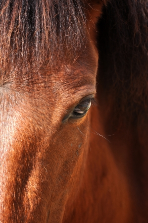 The equine eye is the largest of any land mammal