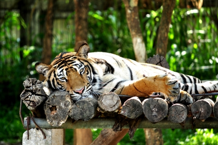Bengal Tiger lying on the bed comfortably. photo
