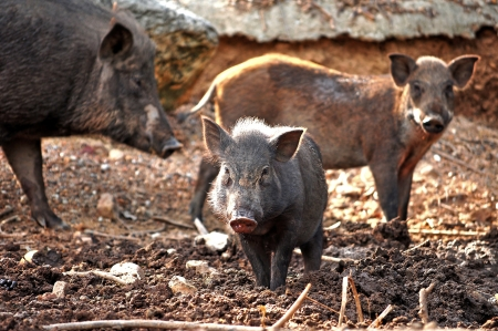 The boar are living with the family. photo