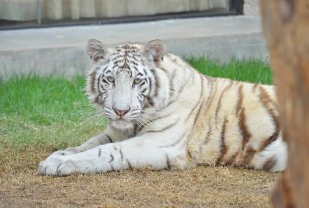 Tigre blanc du Bengale au repos après avoir joué avec des jouets dans le exibition au zoo.