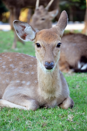 asia deer: Sika Deer are found in the temperate and subtropical forests of Eastern Asia