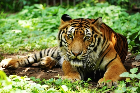 Indochinese tigers live in secluded forests in hilly to mountainous terrain, the majority of which lies along the borders between countries  photo