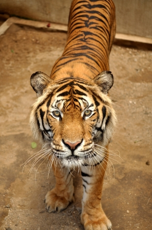Indochinese tigers live in secluded forests in hilly to mountainous terrain, the majority of which lies along the borders between countries