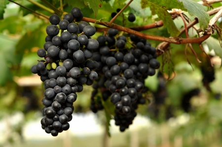Grapes can be eaten raw or they can be used for making jam, juice, jelly, wine, grape seed extract, raisins, vinegar, and grape seed oil. photo