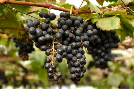 Grapes can be eaten raw or they can be used for making jam, juice, jelly, wine, grape seed extract, raisins, vinegar, and grape seed oil.