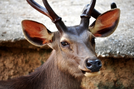 asia deer: The Sambar is a large deer native to southern and southeast Asia.