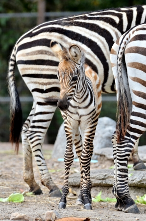 The unique stripes of zebras make these among the animals most familiar to people  photo