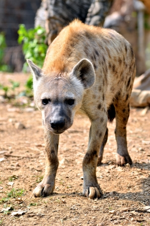 The spotted hyena is a highly successful animal, being the most common large carnivore in Africa. photo