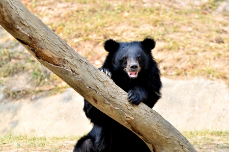 similar images preview: Asian black bears are similar in general appearance to brown bears, but are more lightly built and are more slender limbed.