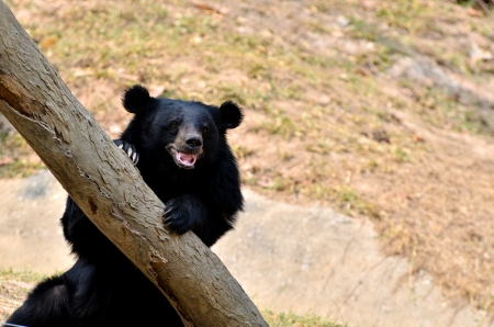 Asian black bears are similar in general appearance to brown bears, but are more lightly built and are more slender limbed.