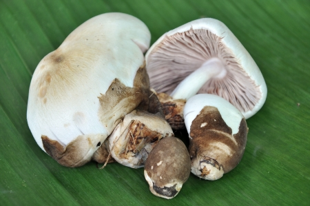 Straw mushrooms, with some still in their veils while others have opened and reveal the cap inside photo