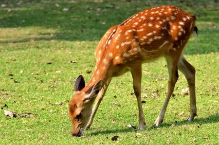 deer spot: The Sika Deer, Cervus nippon, also known as the Spotted Deer or the Japanese Deer