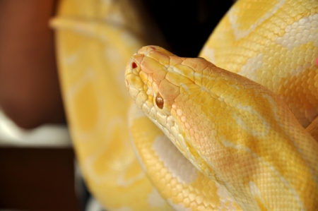 The Burmese Python is found throughout Southern- and Southeast Asia photo