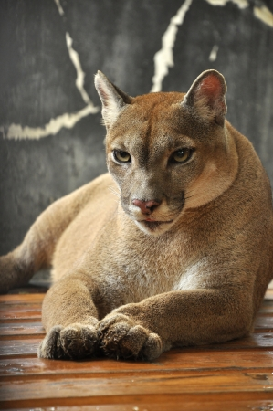 Cougars are slender and agile members of the cat family.