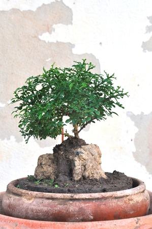 A bonsai is created beginning with a specimen of source material photo