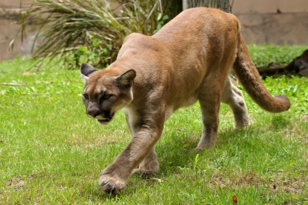 Cougars are slender and agile members of the cat family. photo
