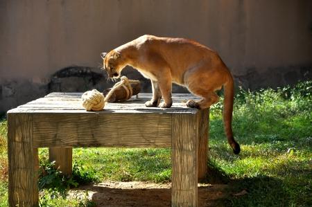 Puma Sont Intéressés Par Le Jouet De Celui-ci. Banque D'Images ...