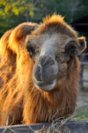 Bactrian camels are extremely adept at withstanding wide variations in temperature - from freezing cold to blistering heat. photo