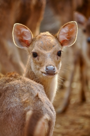 gregarious: Rusa deer are gregarious animals and live in groups