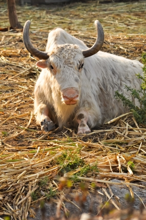 nepali: Yaks belong to the genus Bos, and are therefore related to cattle