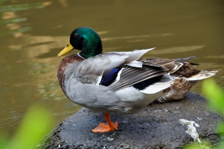 dabbling: The Mallard or Wild Duck  Anas platyrhynchos  is a dabbling duck which breeds throughout the temperate and subtropical Americas, Europe, Asia, and North Africa, and has been introduced to New Zealand and Australia  Stock Photo