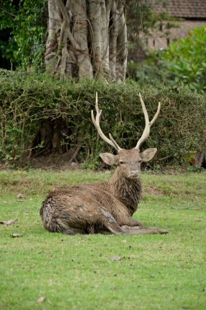 occurs: Activity in the sika deer occurs mostly from dusk to dawn, though daytime activity is not unknown  Stock Photo