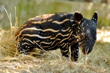 Young tapirs of all species have brown hair with white stripes and spots, a pattern which enables them to hide effectively in the dappled light of the forest. This baby coat fades into adult coloration between four and seven months after birth.