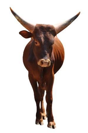 The Ankole cattle, best known for its large, distinctive horns, is native to Africa. Stock Photo - 18005120