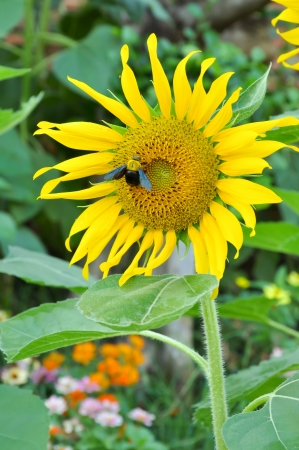 characterised: Bumblebees are social insects that are characterised by black and yellow body hairs, often in bands