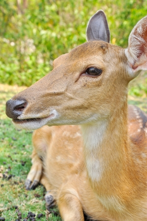 slightly: small deer of Japan with slightly forked antlers