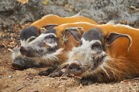 Red river hogs are omnivores and in the wild, eat a variety of foods including grass, berries, insects and carrion. photo