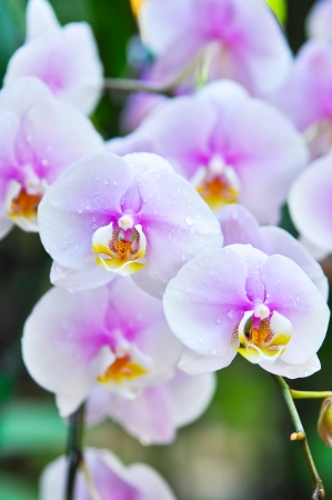 involves: The culture of Phalaenopsis involves windowsill light and consistent moisture.