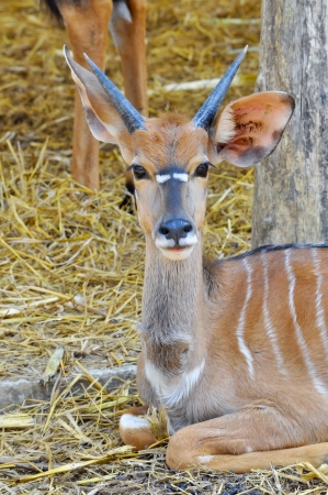 The nyala, also called inyala, is a spiral-horned antelope native to southern Africa. photo