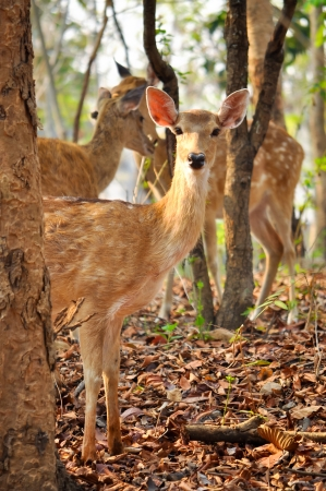 The sika deer can be active throughout the day, though in areas with heavy human disturbance, they tend to be nocturnal  photo