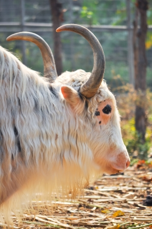 A domesticated yak, used as a work animal or raised for meat and milk  Stock Photo