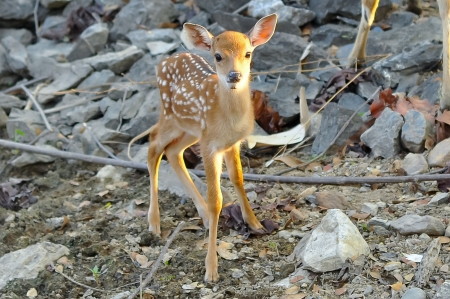 Baby sika deer is reddish-brown with white spots, and spends the first week of its life lying still in long grass, visited by its mother for feeding. Stock Photo