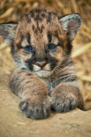 completely: When cougars are born, they have spots, but they lose them as they grow, and by the age of 2 12 years, they will completely be gone Stock Photo