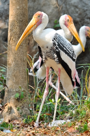 Painted Stork is widely distributed over the plains of Asia  photo