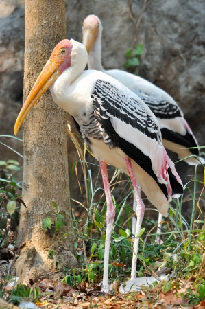 widely: Painted Stork is widely distributed over the plains of Asia  Stock Photo