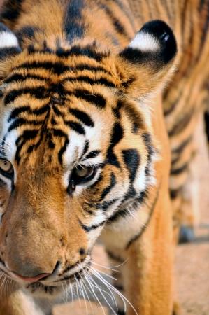 aggressively: Tigri vivono da soli e in modo aggressivo profumo-mark grandi territori per mantenere i loro rivali di distanza. Archivio Fotografico