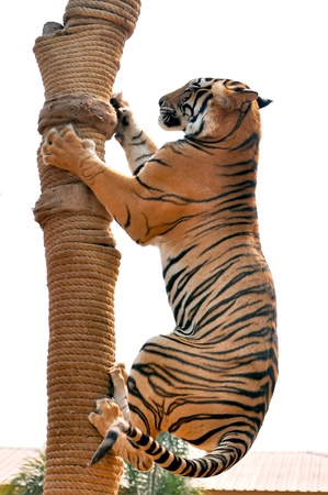 modificar: Tigres, como los ni�os y los perros, se les puede ense�ar a modificar su comportamiento a trav�s de la aplicaci�n h�bil de la recompensa y la disciplina.