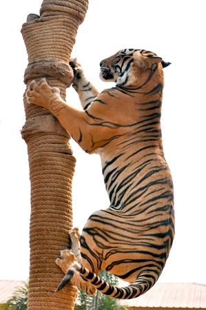modyfikować: Tygrysy, jak dzieci i psów, można nauczyć ich do zmiany zachowania poprzez wykwalifikowanych stosowania nagrody i dyscypliny. Zdjęcie Seryjne