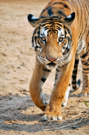 Tigers live alone and aggressively scent-mark large territories to keep their rivals away.