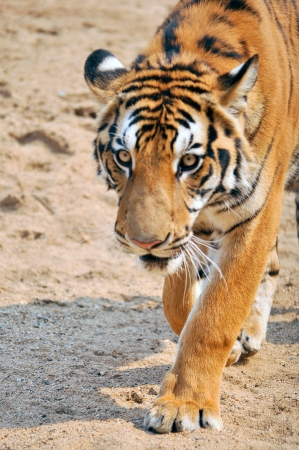 aggressively: Tigers live alone and aggressively scent-mark large territories to keep their rivals away.