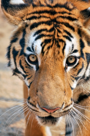 Tigers live alone and aggressively scent-mark large territories to keep their rivals away. photo