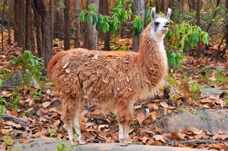 pack animal: La lama ? un addomesticati camelide sudamericano, ampiamente usato come un pacco di carne e animali da culture andine fin dai tempi pre-ispanici. Archivio Fotografico