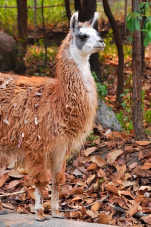 The llama is a domesticated South American camelid, widely used as a meat and pack animal by Andean cultures since pre-Hispanic times. photo